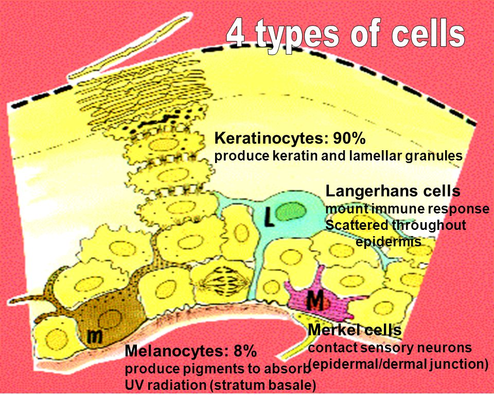 Keratinocytes: 90% produce keratin and lamellar granules Melanocytes: 8% produce pigments to absorb UV radiation (stratum basale) Langerhans cells mount immune response Scattered throughout epidermis Merkel cells contact sensory neurons (epidermal/dermal junction)