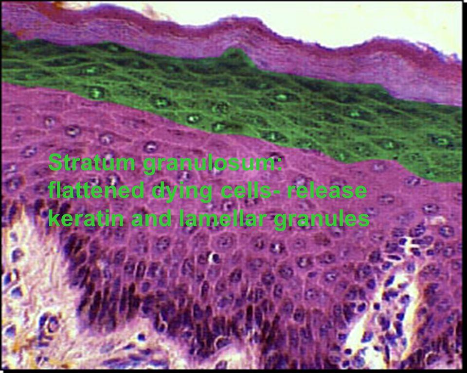 Stratum granulosum: flattened dying cells- release keratin and lamellar granules