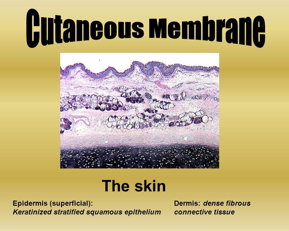 The skin Epidermis (superficial): Keratinized stratified squamous epithelium Dermis: dense fibrous connective tissue