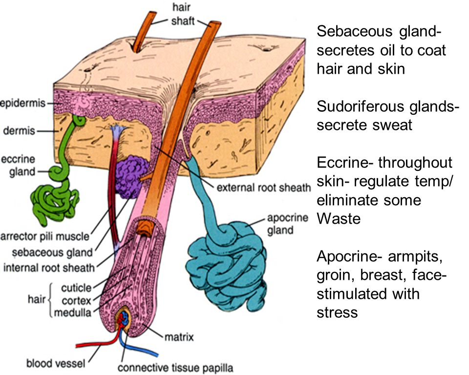 Sebaceous gland- secretes oil to coat hair and skin Sudoriferous glands- secrete sweat Eccrine- throughout skin- regulate temp/ eliminate some Waste Apocrine- armpits, groin, breast, face- stimulated with stress