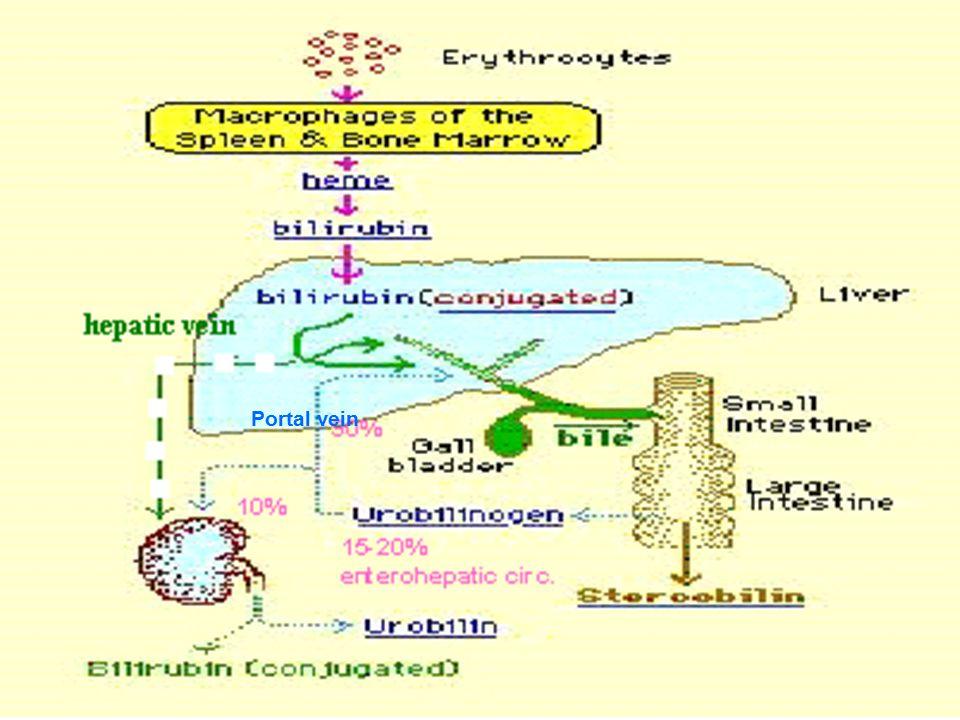 Portal vein