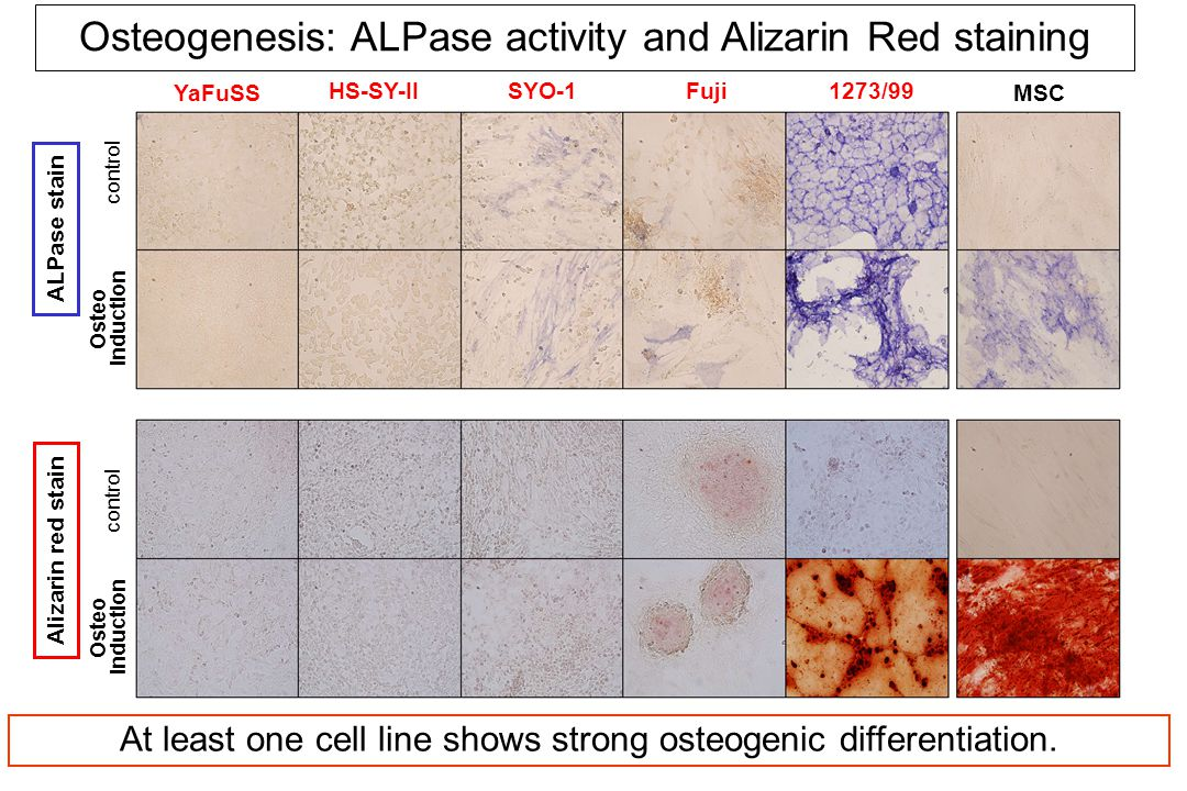 YaFuSS HS-SY-IISYO-1Fuji1273/99 ALPase stain MSC control Osteogenesis: ALPase activity and Alizarin Red staining Alizarin red stain Osteo induction control Osteo induction At least one cell line shows strong osteogenic differentiation.
