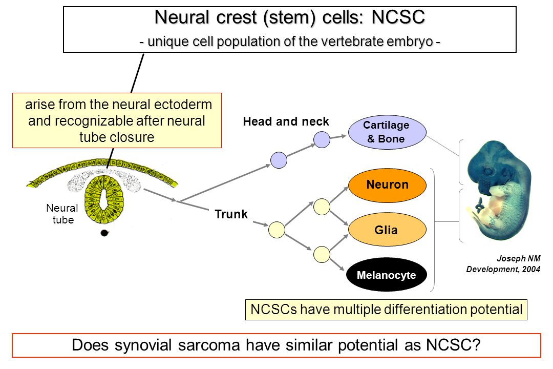 Neural crest (stem) cells: NCSC - unique cell population of the vertebrate embryo - Neural tube Joseph NM Development, 2004 Cartilage & Bone Neuron Glia Melanocyte arise from the neural ectoderm and recognizable after neural tube closure Trunk Head and neck Does synovial sarcoma have similar potential as NCSC.