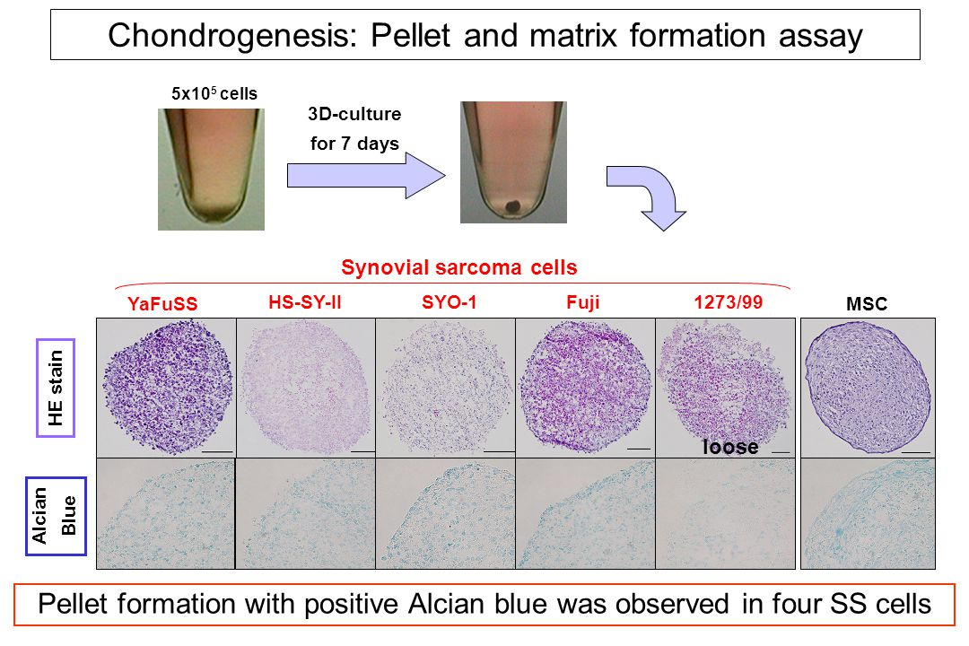 actin COMP SOX9 AGC YaFuSS COL2A1 HS-SY-IISYO-1Fuji1273/99MSC COL11A1 COL11A2 COL9A1 Chondrogenesis: Gene expression before and after induction - + - + - + - + - + - + Induction Chondro-related genes were significantly upregulated.