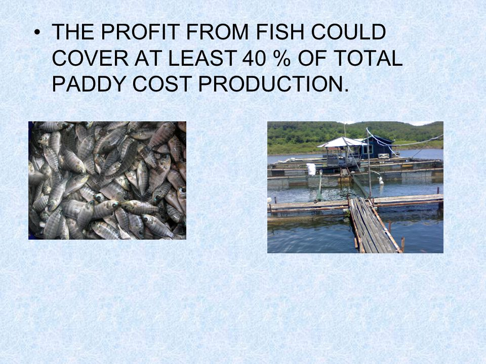 THE PROFIT FROM FISH COULD COVER AT LEAST 40 % OF TOTAL PADDY COST PRODUCTION.