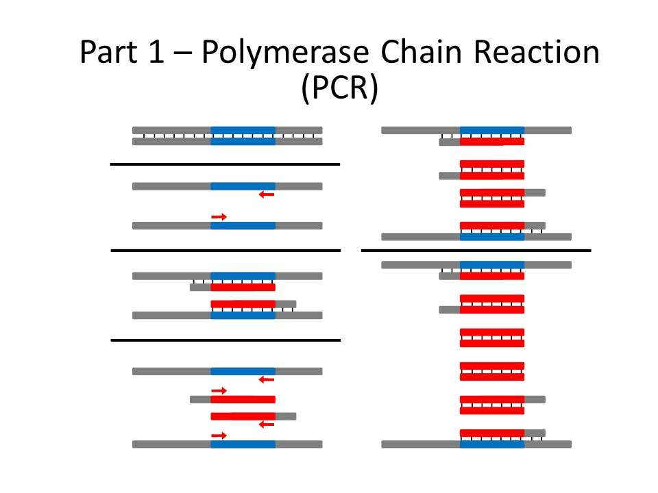 Part 1 – Polymerase Chain Reaction (PCR)