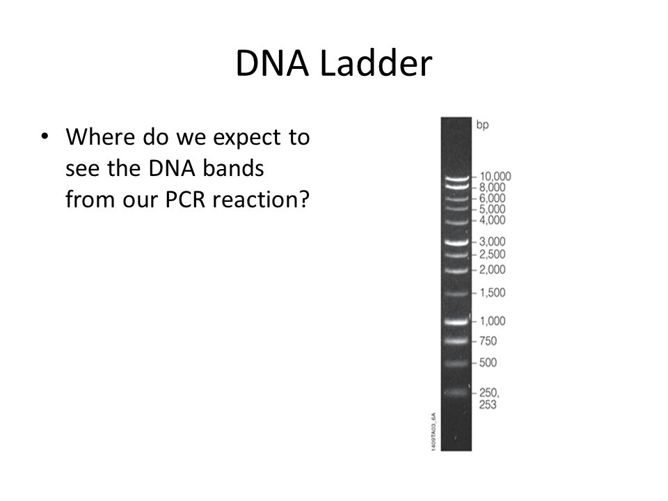 DNA Ladder Where do we expect to see the DNA bands from our PCR reaction?