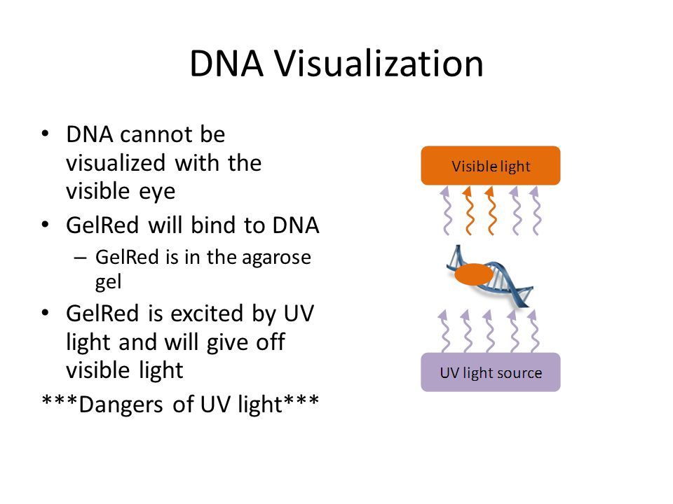DNA Visualization DNA cannot be visualized with the visible eye GelRed will bind to DNA – GelRed is in the agarose gel GelRed is excited by UV light a