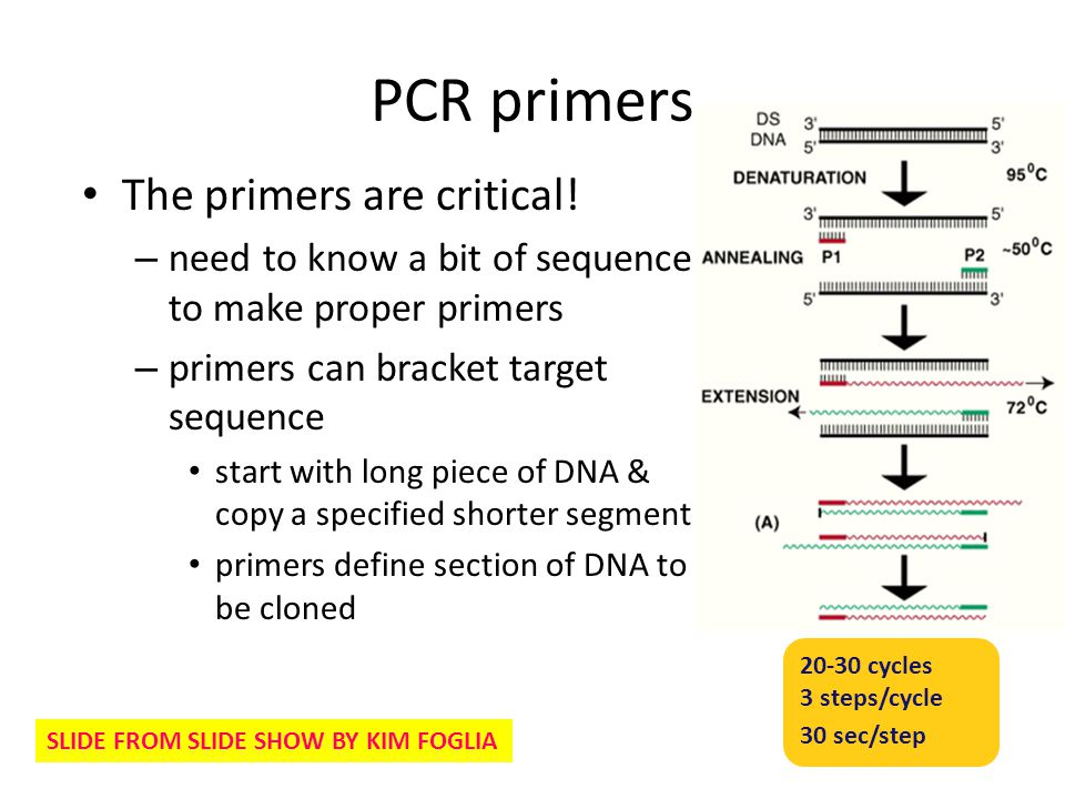 PCR primers The primers are critical! – need to know a bit of sequence to make proper primers – primers can bracket target sequence start with long pi
