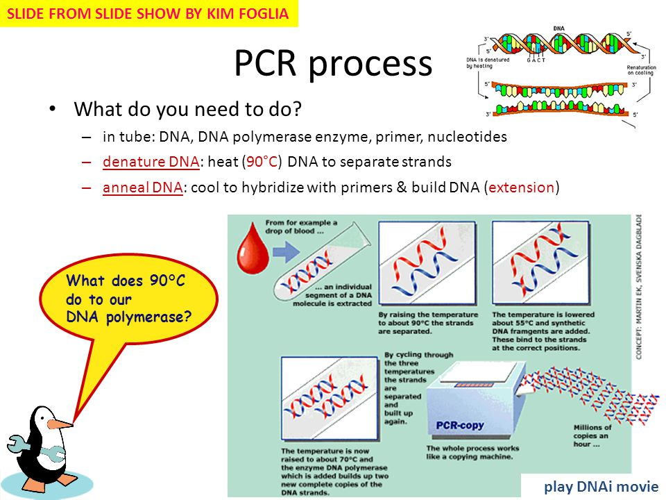 PCR process What do you need to do? – in tube: DNA, DNA polymerase enzyme, primer, nucleotides – denature DNA: heat (90°C) DNA to separate strands – a
