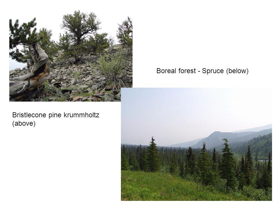 Bristlecone pine krummholtz (above) Boreal forest - Spruce (below)