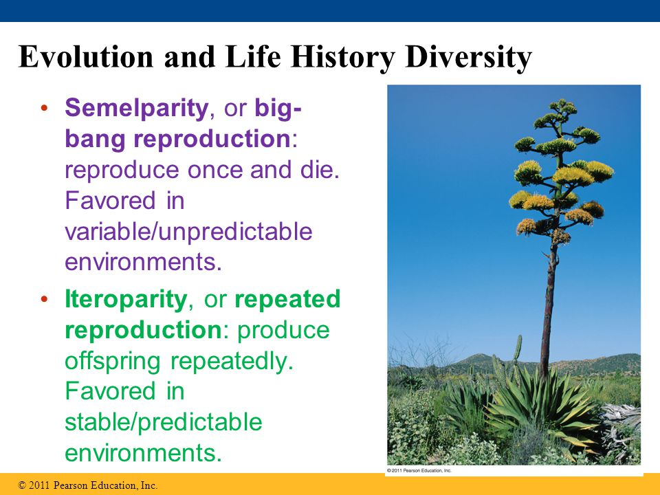 Evolution and Life History Diversity Semelparity, or big- bang reproduction: reproduce once and die.