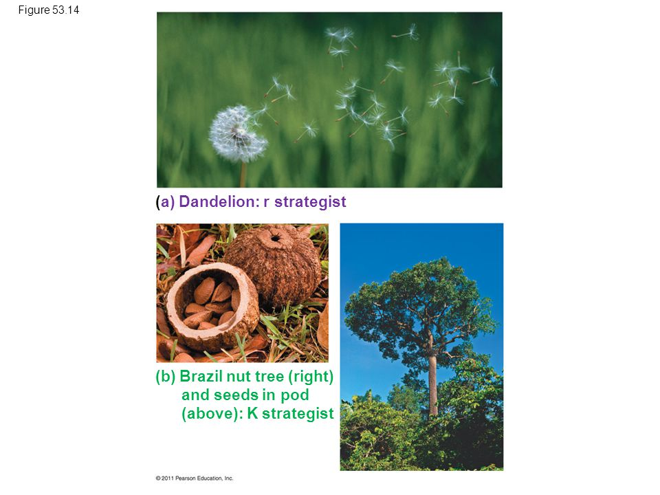 Figure 53.14 (a) Dandelion: r strategist (b) Brazil nut tree (right) and seeds in pod (above): K strategist