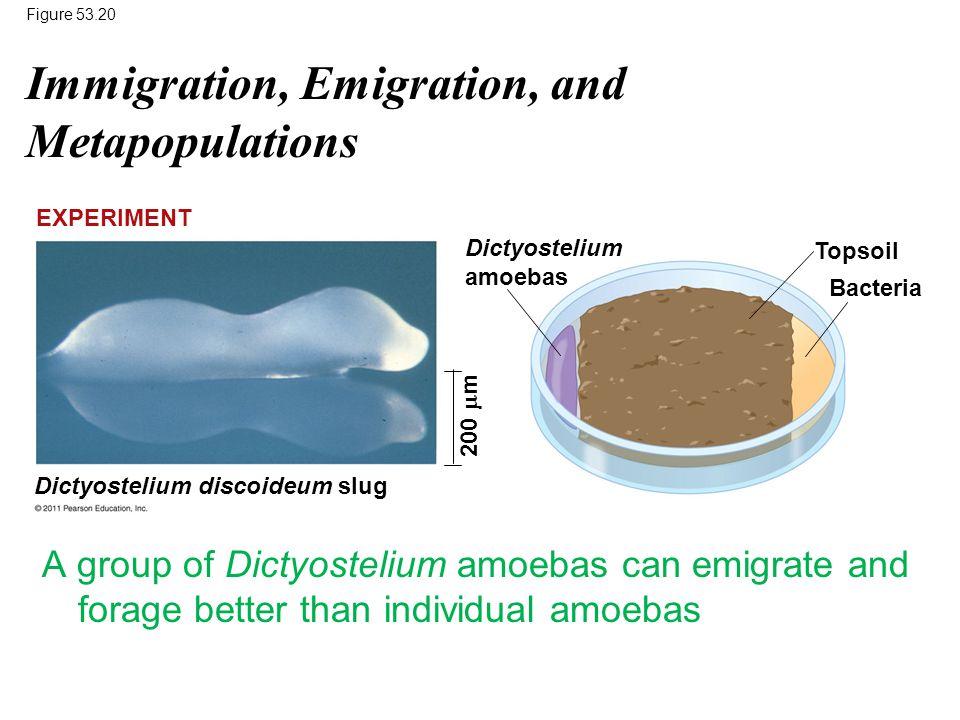 Figure 53.20 Topsoil Bacteria EXPERIMENT Dictyostelium amoebas Dictyostelium discoideum slug 200  m Immigration, Emigration, and Metapopulations A gr