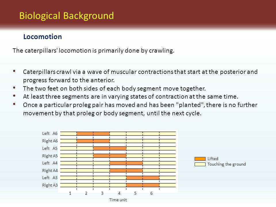Biological Background The caterpillars locomotion is primarily done by crawling.