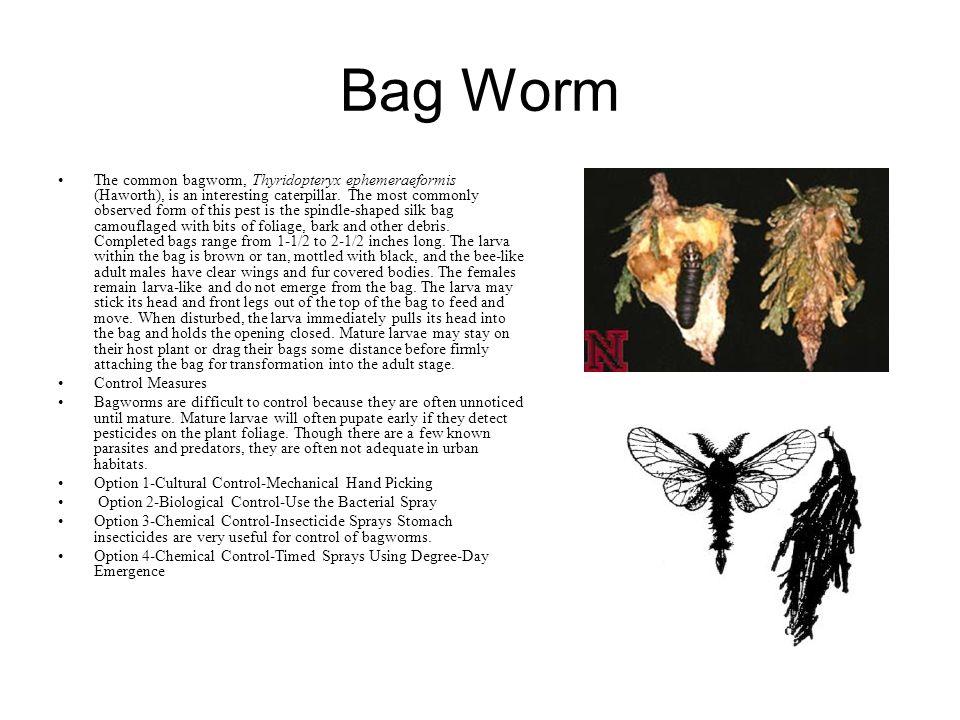Bag Worm The common bagworm, Thyridopteryx ephemeraeformis (Haworth), is an interesting caterpillar.