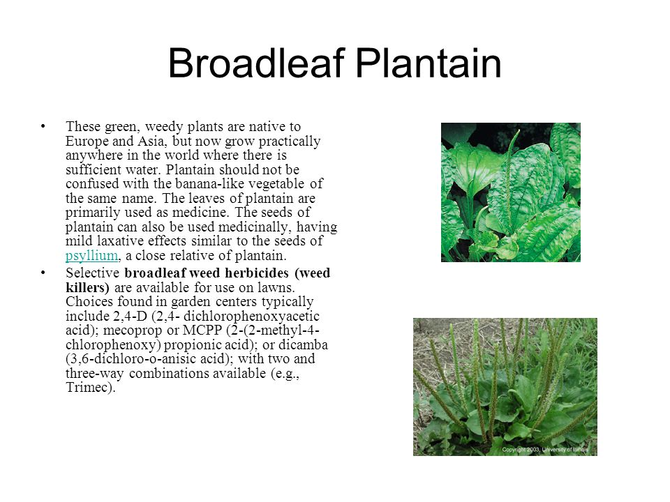 Broadleaf Plantain These green, weedy plants are native to Europe and Asia, but now grow practically anywhere in the world where there is sufficient water.
