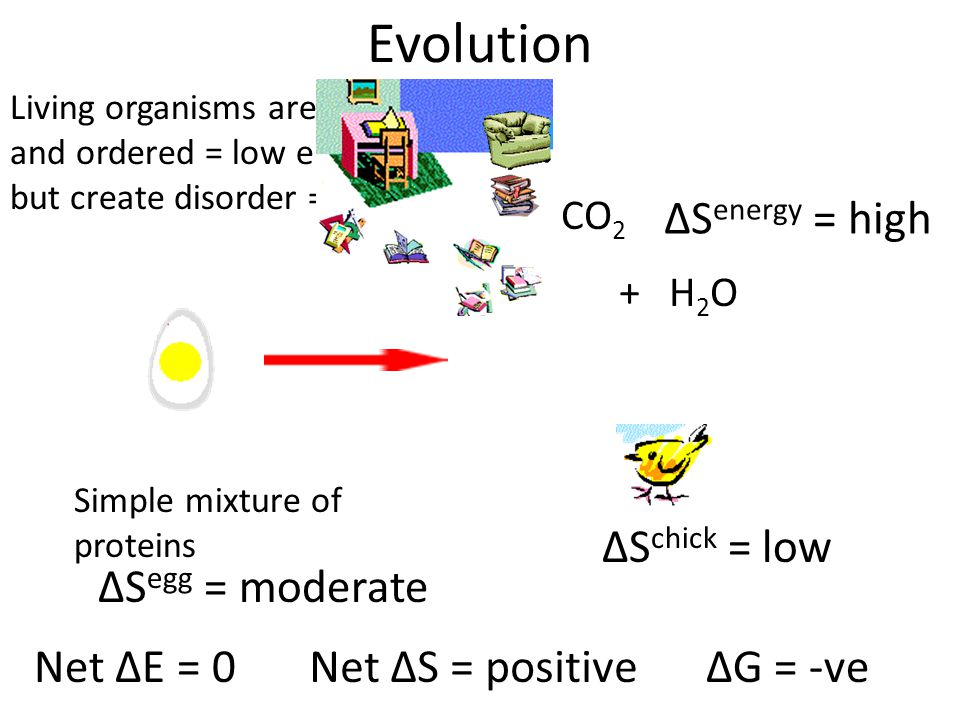 CO 2 + H2OH2O Simple mixture of proteins ΔS egg = moderate ΔS chick = low ΔS energy = high Net ΔE = 0Net ΔS = positiveΔG = -ve Living organisms are highly complex and ordered = low entropy but create disorder = high entropy