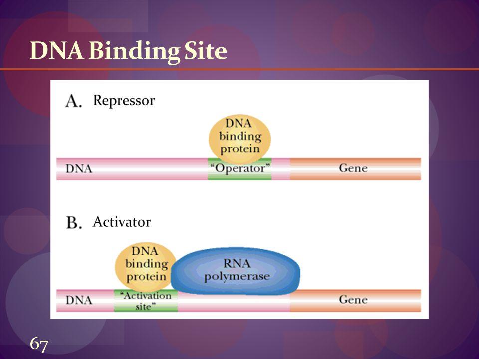 DNA Binding Site Repressor Activator 67