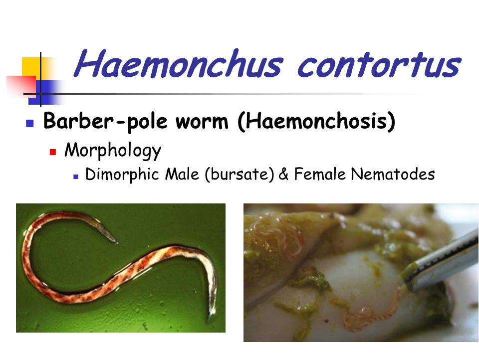 Haemonchus contortus Barber-pole worm (Haemonchosis) Morphology Dimorphic Male (bursate) & Female Nematodes