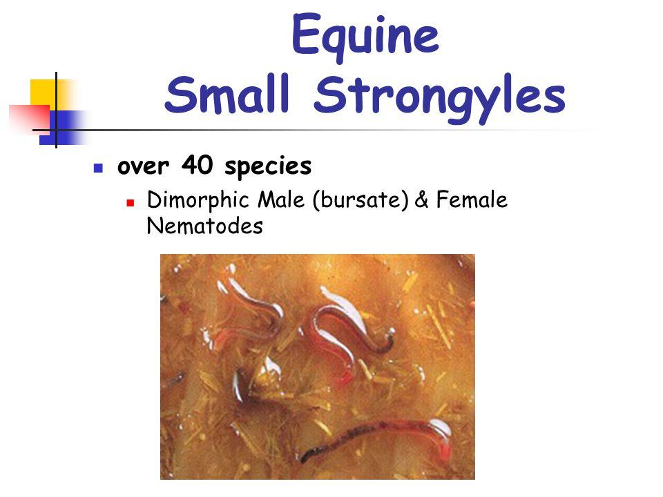 Equine Small Strongyles over 40 species Dimorphic Male (bursate) & Female Nematodes