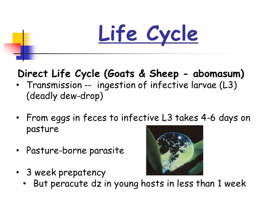 Life Cycle Direct Life Cycle (Goats & Sheep - abomasum) Transmission -- ingestion of infective larvae (L3) (deadly dew-drop) From eggs in feces to inf
