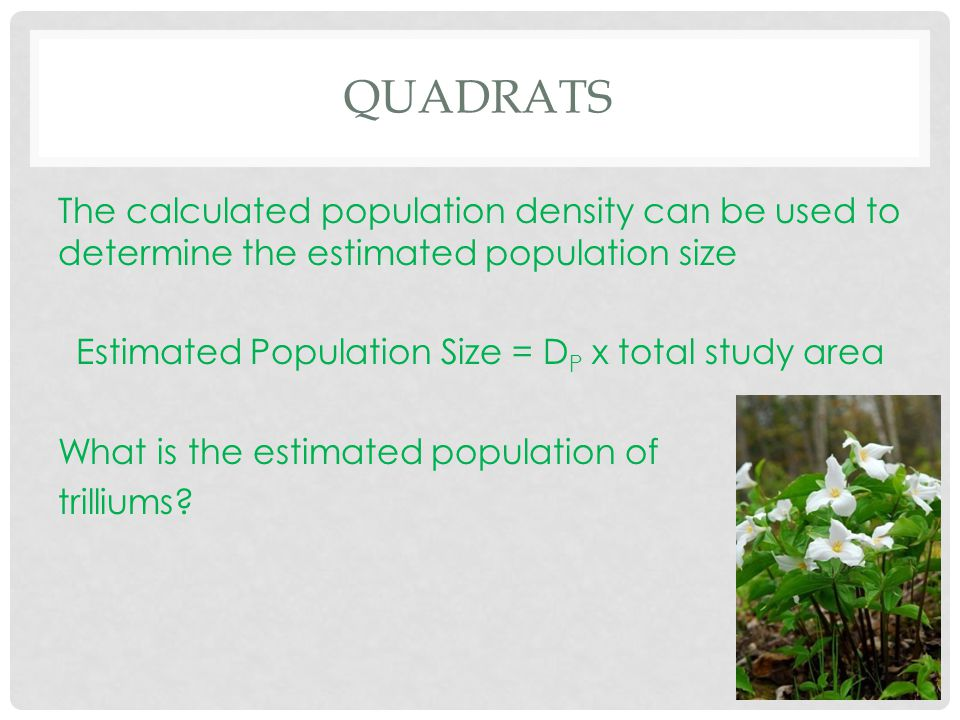 QUADRATS The calculated population density can be used to determine the estimated population size Estimated Population Size = D P x total study area W