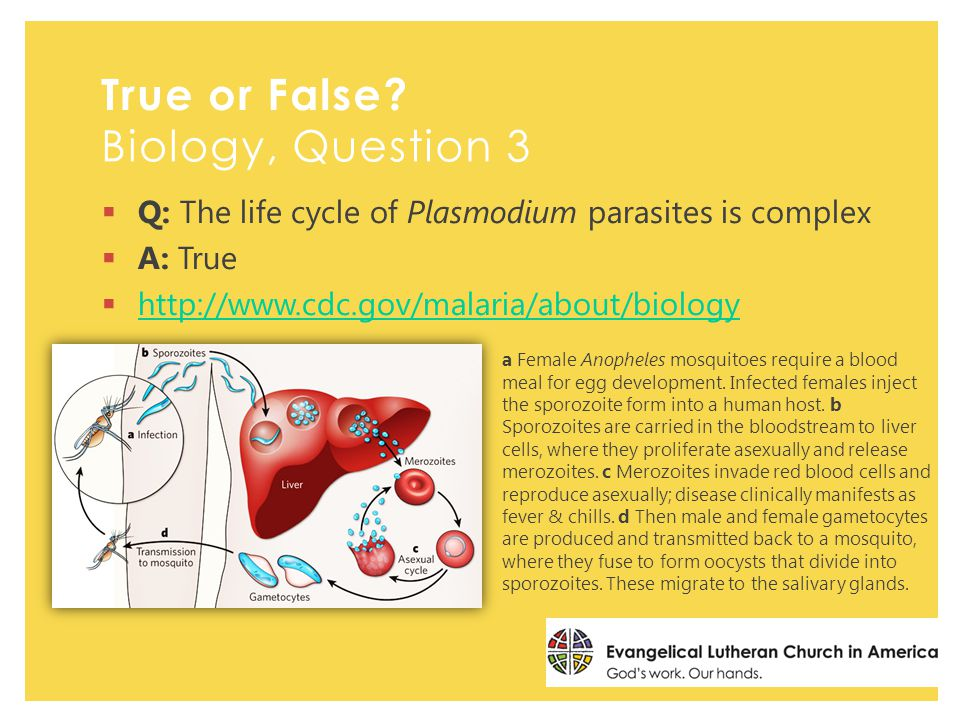  Q: The life cycle of Plasmodium parasites is complex  A: True  http://www.cdc.gov/malaria/about/biology http://www.cdc.gov/malaria/about/biology a Female Anopheles mosquitoes require a blood meal for egg development.