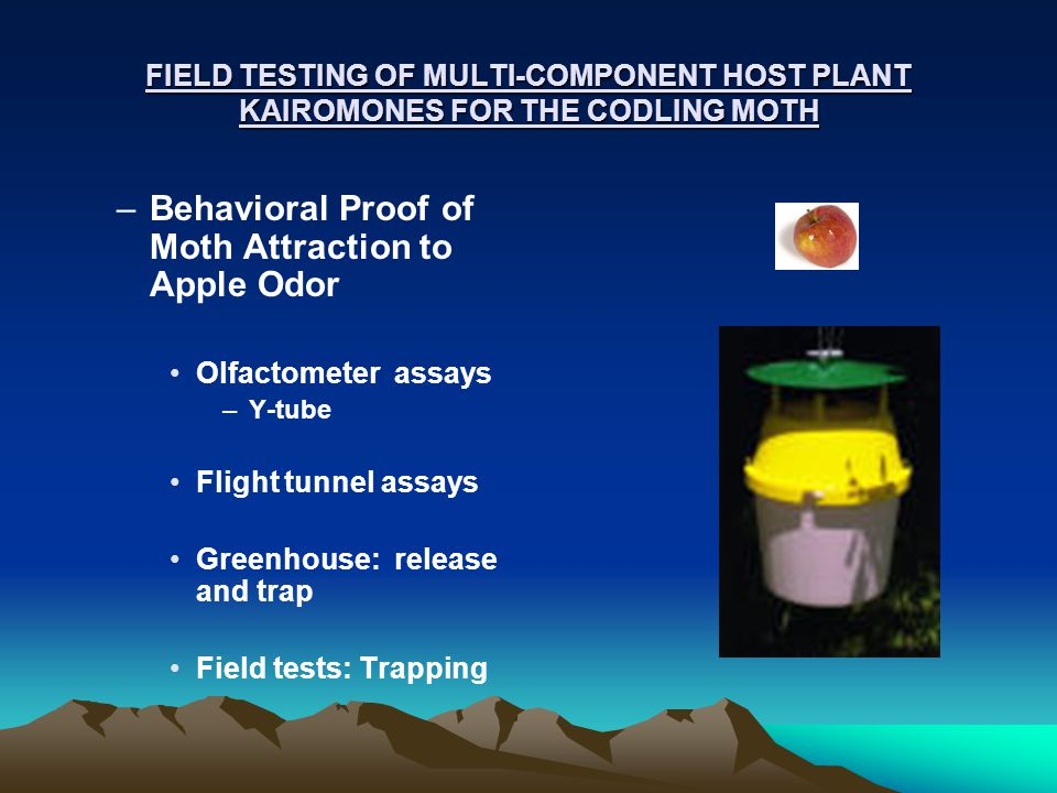 FIELD TESTING OF MULTI-COMPONENT HOST PLANT KAIROMONES FOR THE CODLING MOTH –Behavioral Proof of Moth Attraction to Apple Odor Olfactometer assays –Y-tube Flight tunnel assays Greenhouse: release and trap Field tests: Trapping