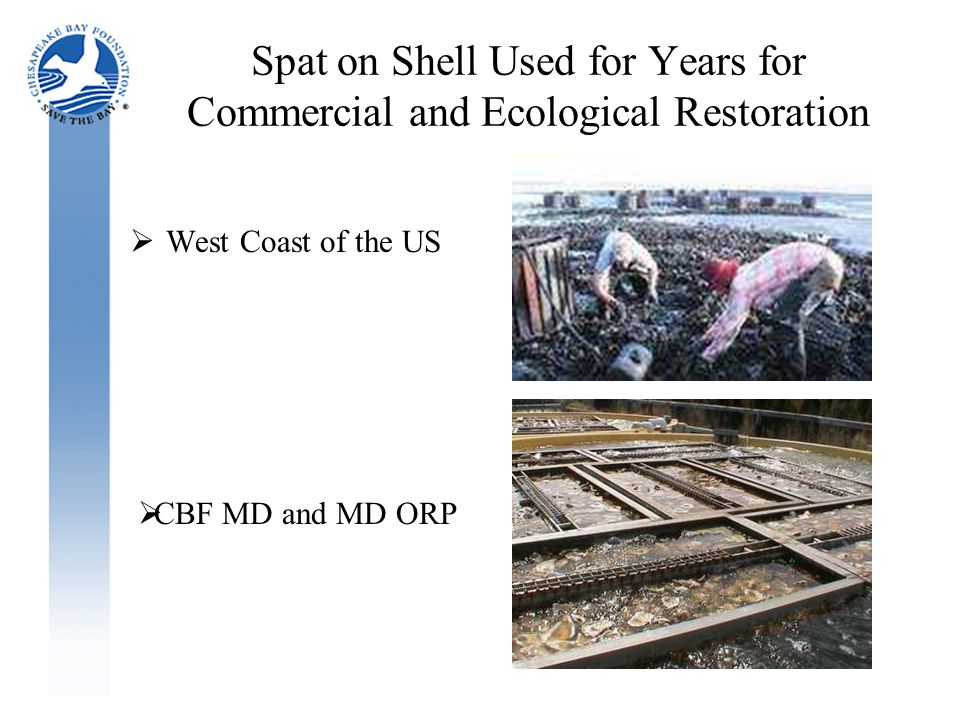 Spat on Shell Used for Years for Commercial and Ecological Restoration  West Coast of the US  CBF MD and MD ORP