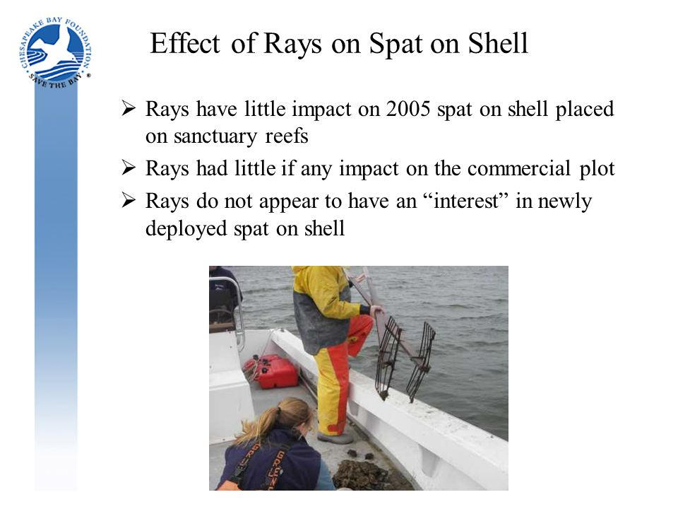 Effect of Rays on Spat on Shell  Rays have little impact on 2005 spat on shell placed on sanctuary reefs  Rays had little if any impact on the commercial plot  Rays do not appear to have an interest in newly deployed spat on shell