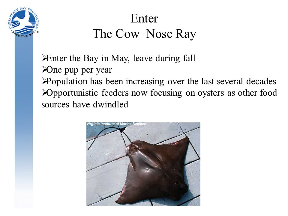 Enter The Cow Nose Ray  Enter the Bay in May, leave during fall  One pup per year  Population has been increasing over the last several decades  Opportunistic feeders now focusing on oysters as other food sources have dwindled