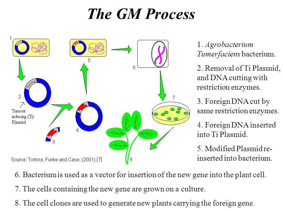 The GM Process 1. Agrobacterium Tumerfaciens bacterium.