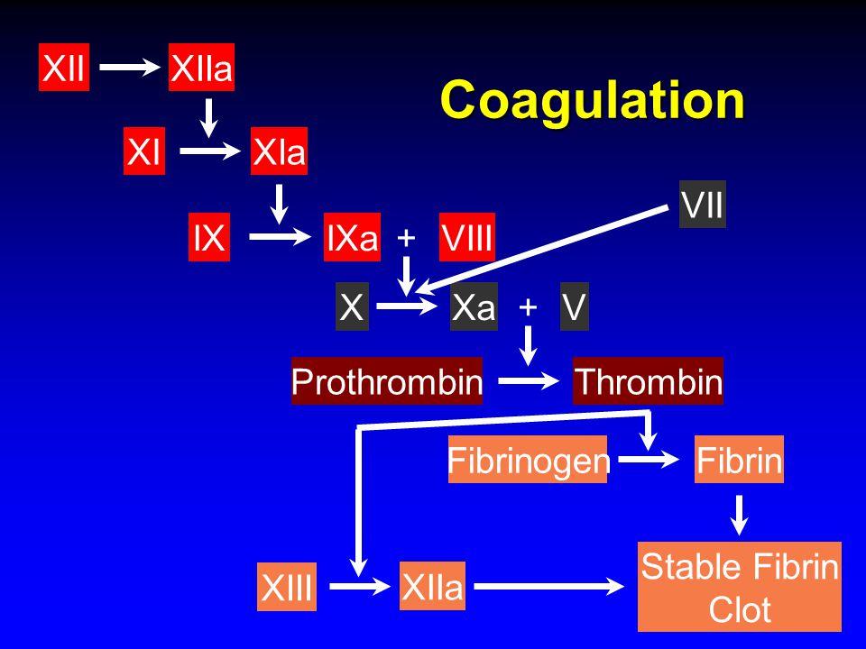Stable Fibrin Clot ProthrombinThrombin XI XIIaXII VIIIIX XIa IXa+ FibrinFibrinogen XIIa XIII XaX VII V+ Coagulation