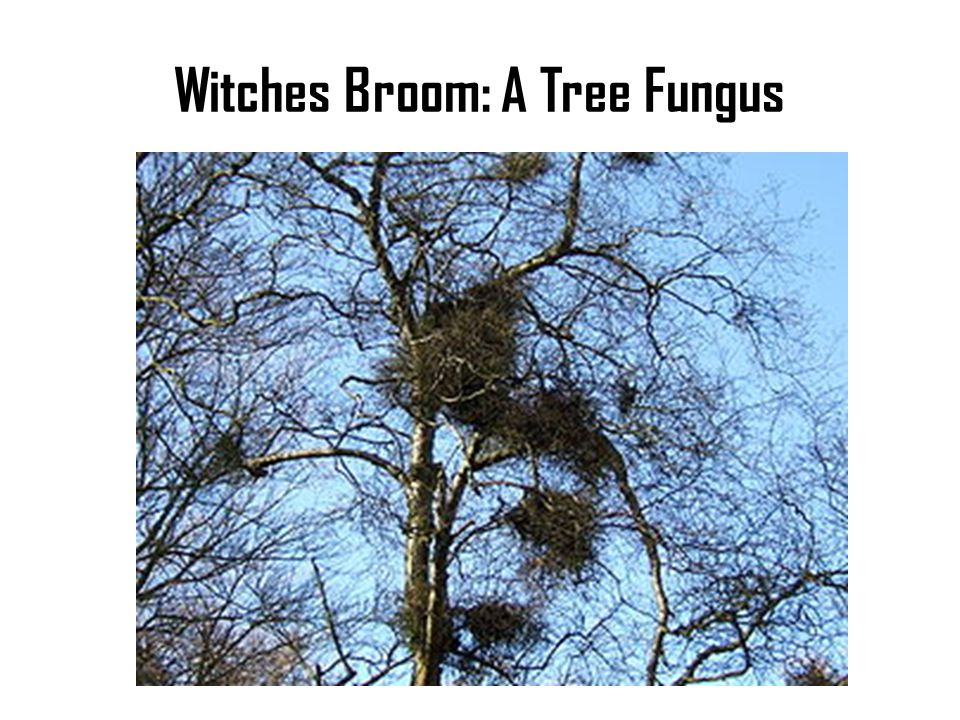 Witches Broom: A Tree Fungus