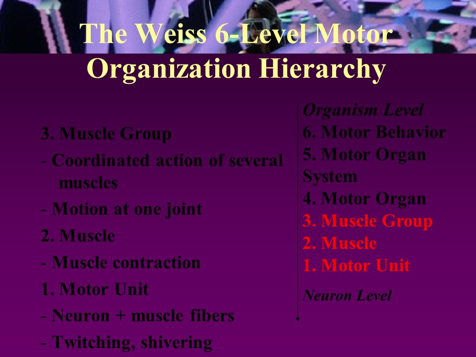 The Weiss 6-Level Motor Organization Hierarchy Organism Level 6. Motor Behavior 5. Motor Organ System 4. Motor Organ 3. Muscle Group 2. Muscle 1. Moto