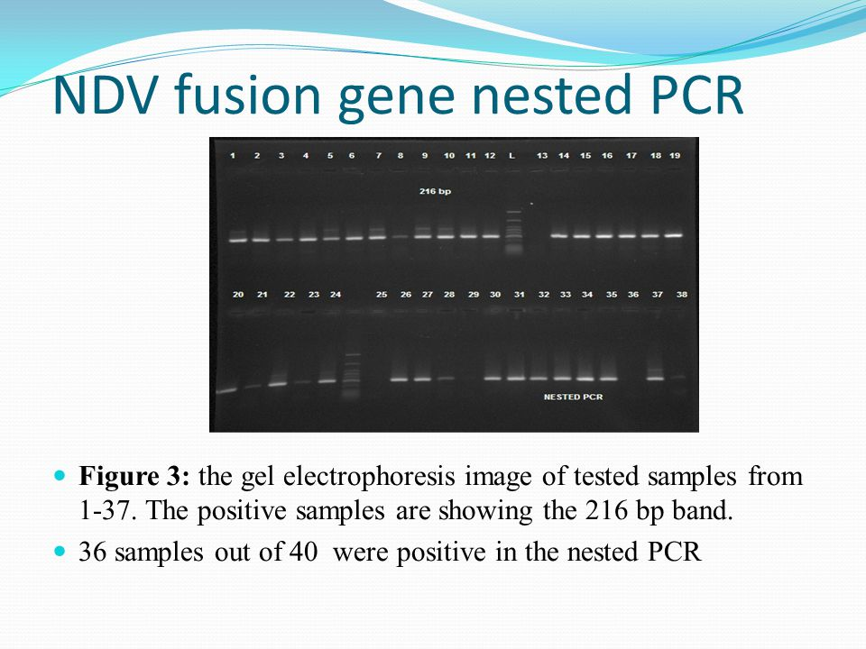 NDV fusion gene nested PCR Figure 3: the gel electrophoresis image of tested samples from 1-37.