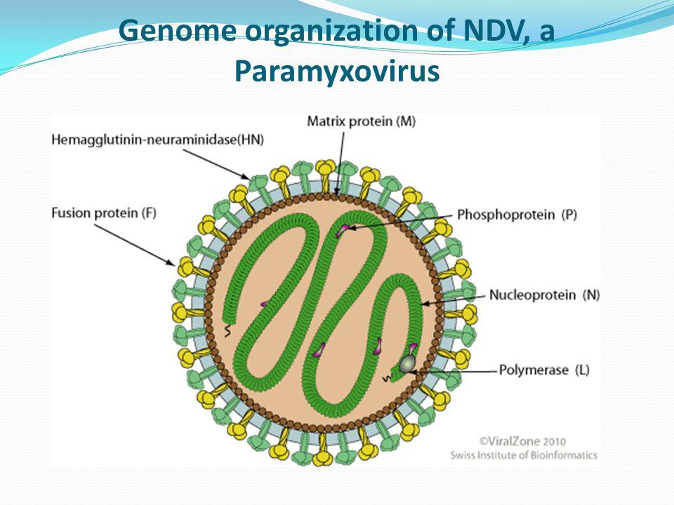 Genome organization of NDV, a Paramyxovirus
