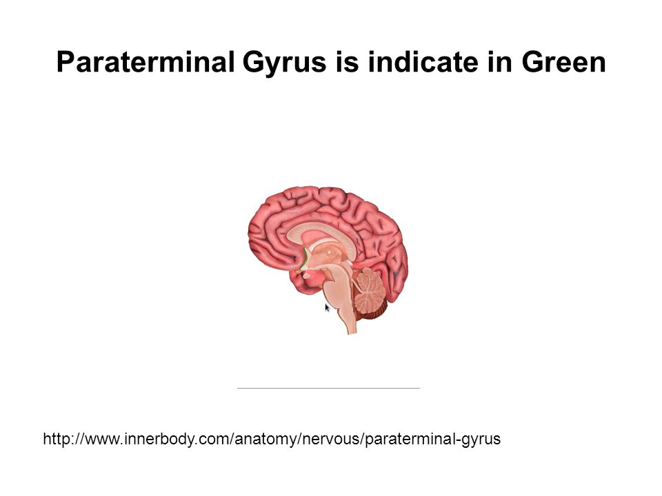 Paraterminal Gyrus is indicate in Green http://www.innerbody.com/anatomy/nervous/paraterminal-gyrus
