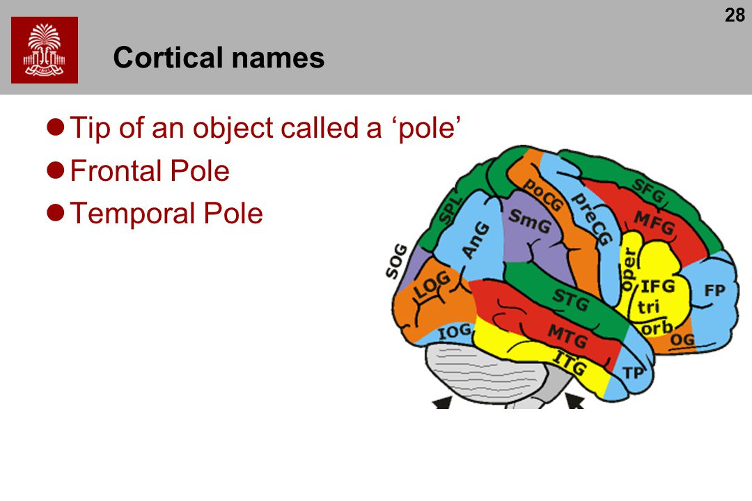 28 Cortical names Tip of an object called a 'pole' Frontal Pole Temporal Pole
