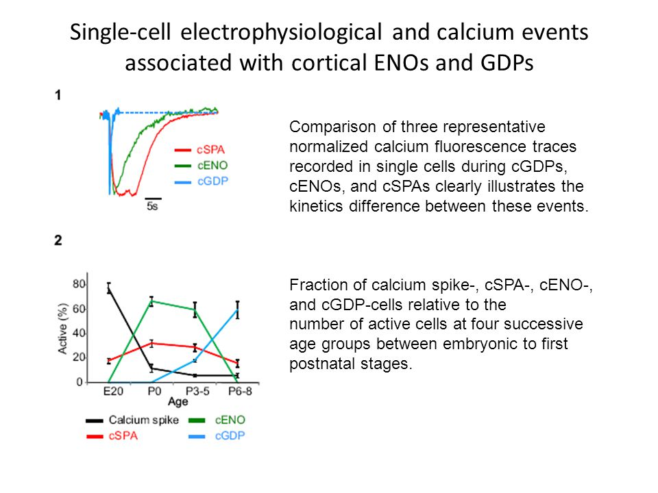 Comparison of three representative normalized calcium fluorescence traces recorded in single cells during cGDPs, cENOs, and cSPAs clearly illustrates the kinetics difference between these events.