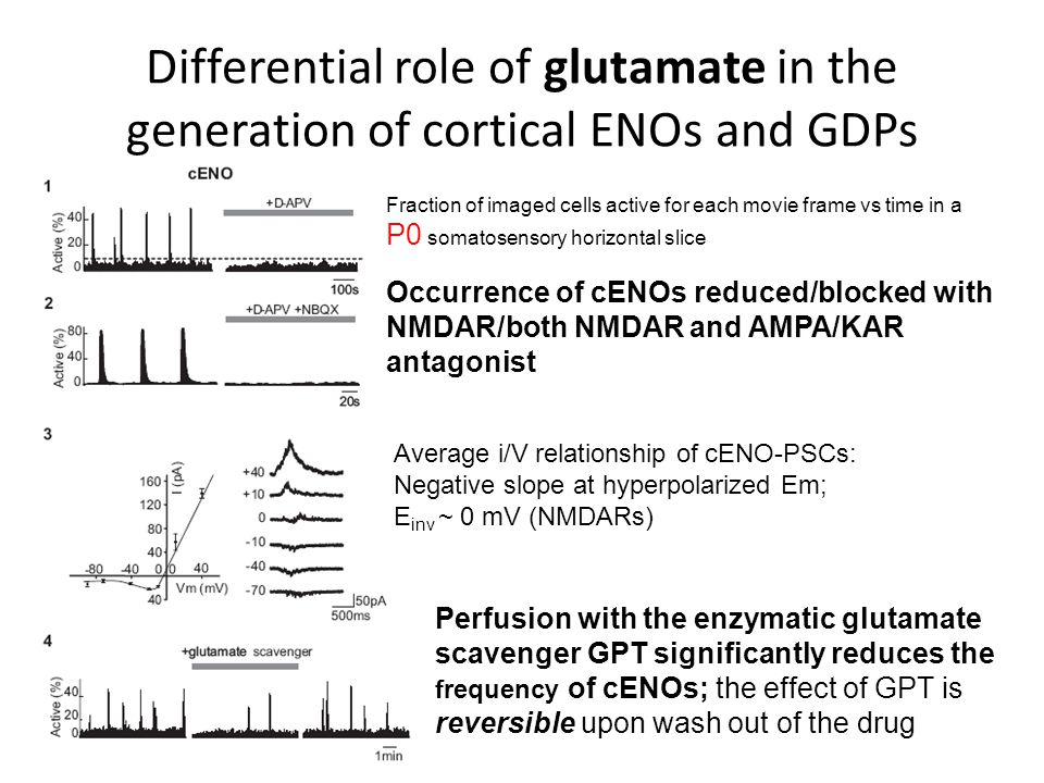 Differential role of glutamate in the generation of cortical ENOs and GDPs Fraction of imaged cells active for each movie frame vs time in a P0 somatosensory horizontal slice Occurrence of cENOs reduced/blocked with NMDAR/both NMDAR and AMPA/KAR antagonist Average i/V relationship of cENO-PSCs: Negative slope at hyperpolarized Em; E inv ~ 0 mV (NMDARs) Perfusion with the enzymatic glutamate scavenger GPT significantly reduces the frequency of cENOs; the effect of GPT is reversible upon wash out of the drug