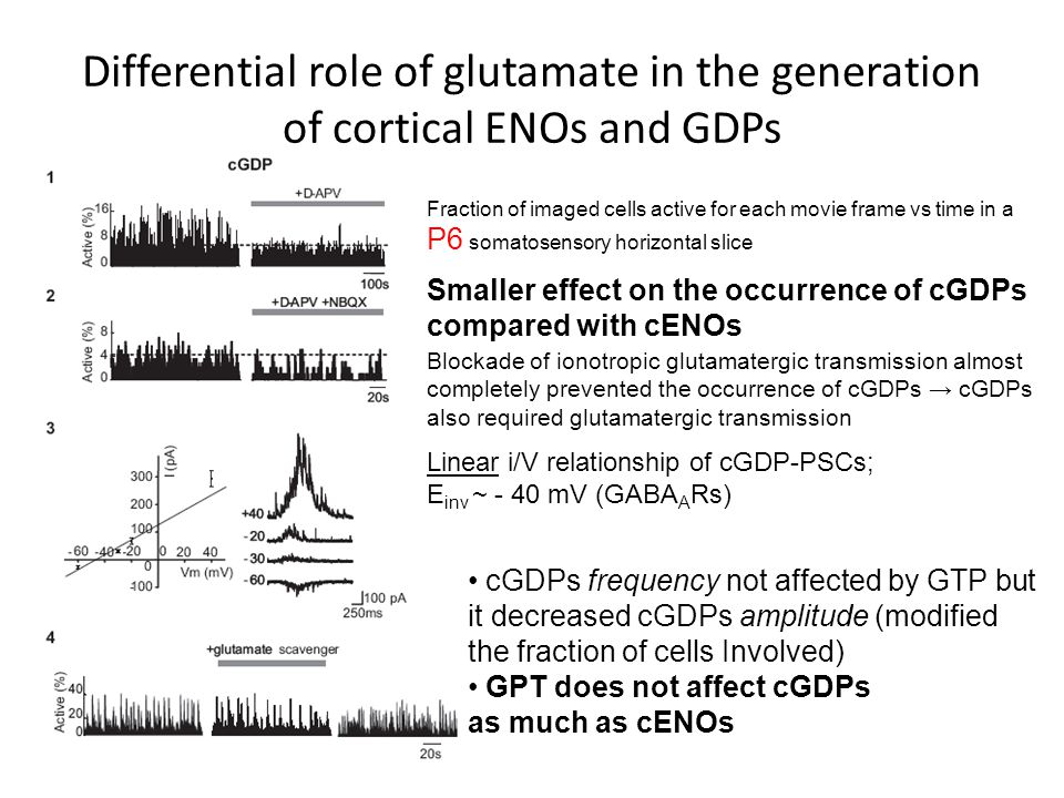 Differential role of glutamate in the generation of cortical ENOs and GDPs Fraction of imaged cells active for each movie frame vs time in a P6 somatosensory horizontal slice Linear i/V relationship of cGDP-PSCs; E inv ~ - 40 mV (GABA A Rs) Smaller effect on the occurrence of cGDPs compared with cENOs Blockade of ionotropic glutamatergic transmission almost completely prevented the occurrence of cGDPs → cGDPs also required glutamatergic transmission cGDPs frequency not affected by GTP but it decreased cGDPs amplitude (modified the fraction of cells Involved) GPT does not affect cGDPs as much as cENOs