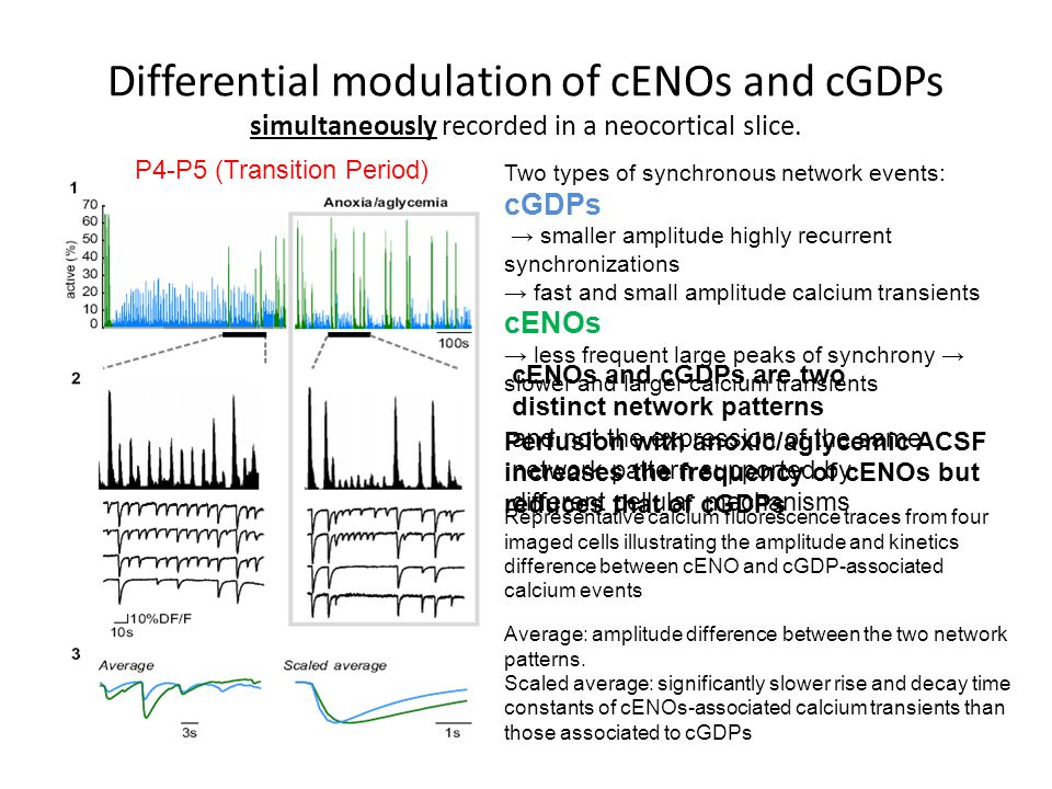 Differential modulation of cENOs and cGDPs simultaneously recorded in a neocortical slice.