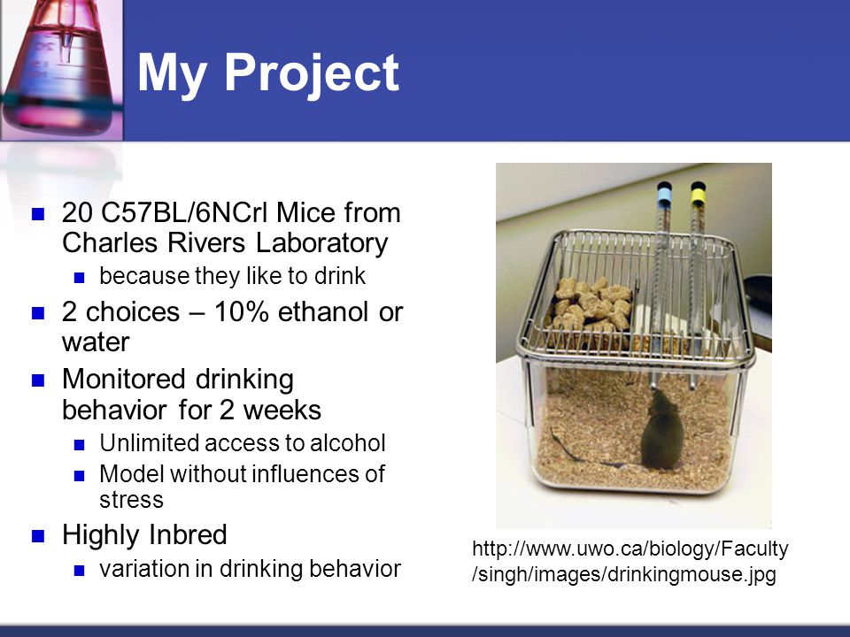 My Project 20 C57BL/6NCrl Mice from Charles Rivers Laboratory because they like to drink 2 choices – 10% ethanol or water Monitored drinking behavior