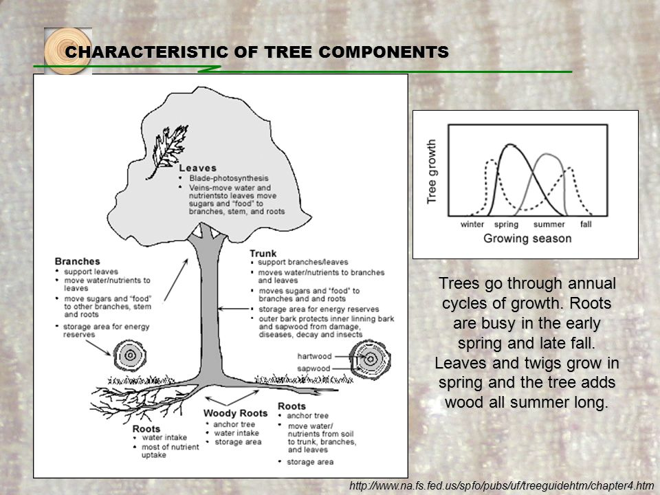 CHARACTERISTIC OF TREE COMPONENTS Trees go through annual cycles of growth.