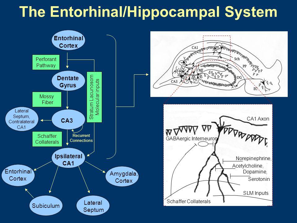 Stimulating Electrode Recording Electrode Electrodes in a Living Hippocampal Slice