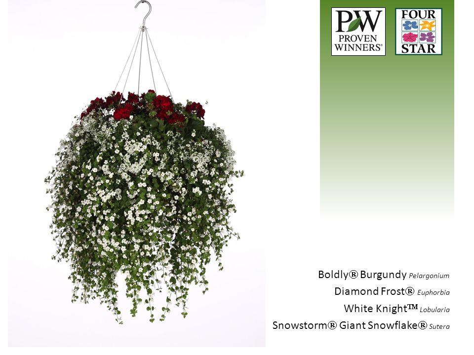 Boldly  Burgundy Pelargonium Diamond Frost  Euphorbia White Knight  Lobularia Snowstorm  Giant Snowflake  Sutera