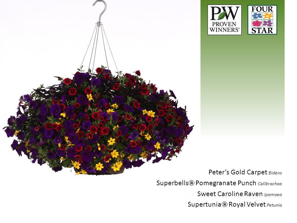 Peter's Gold Carpet Bidens Superbells  Pomegranate Punch Calibrachoa Sweet Caroline Raven Ipomoea Supertunia  Royal Velvet Petunia