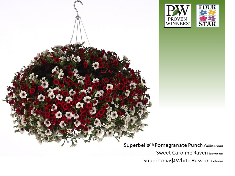 Superbells  Pomegranate Punch Calibrachoa Sweet Caroline Raven Ipomoea Supertunia  White Russian Petunia